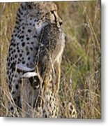 Cheetah Carrying Its Prey Metal Print