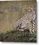 Cheetah On Termite Mound Metal Print