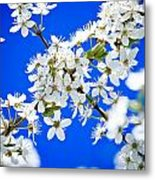 Cherry Blossom With Blue Sky Metal Print