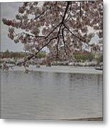 Cherry Blossoms - Washington Dc - 011336 Metal Print