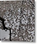 Cherry Blossoms - Washington Dc - 011342 Metal Print