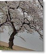 Cherry Blossoms - Washington Dc - 011343 Metal Print