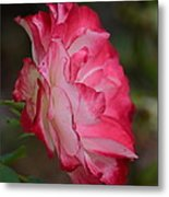 Cherry Cream Rose Metal Print