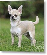 Chihuahua Dog Metal Print