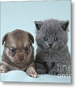 Chihuahua Puppy And British Shorthair Metal Print
