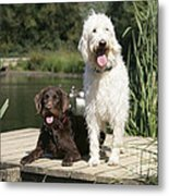 Chocolate And Cream Labradoodles Metal Print