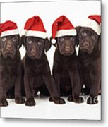 Chocolate Labrador Puppies Metal Print