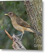 Clay-colored Thrush Metal Print