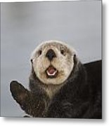 Close Up A Sea Otter In Prince William Metal Print