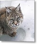 Close-up Bobcat Lynx On Snow Looking At Camera Metal Print