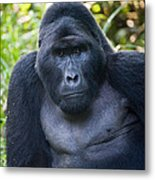 Close-up Of A Mountain Gorilla Gorilla Metal Print