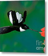 Collared Inca Hummngbird Metal Print