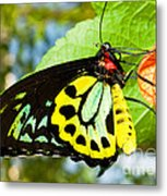 Common Birdwing Butterfly Metal Print