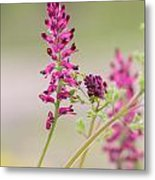 Common Fumitory Metal Print