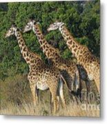 Common Giraffe Metal Print