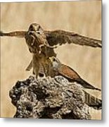 Common Kestrel Falco Tinnunculus Metal Print