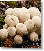Common Puffball Mushrooms Lycoperdon Perlatum Metal Print