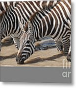 Common Zebras Drinking Water Metal Print
