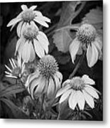 Coneflowers Echinacea Rudbeckia Bw Metal Print by Rich Franco