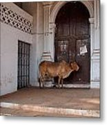 Cow At Church At Colva Metal Print