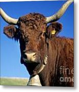 Cow Salers Metal Print by Bernard Jaubert