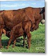 Cows Salers Metal Print