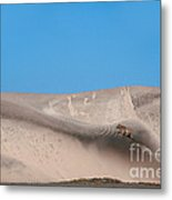 Coyote On Sand Dune Metal Print by Mark Newman