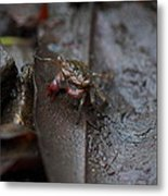 Crab In Mangrove Forest In Los Haitises National Park Dominican Republic Metal Print