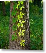 Creeper Leaves Under The Sun Metal Print