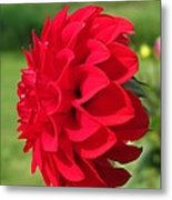 Dahlia Named Ali Oop Metal Print