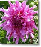 Dahlia Named Annette C Metal Print