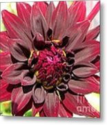 Dahlia Named Black Wizard Metal Print