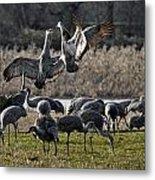 Dance Of The Cranes Metal Print