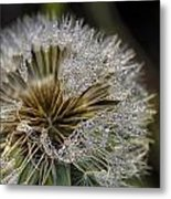 Dandelion With Water Drops Metal Print