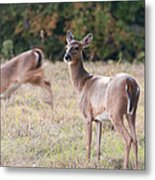 Deer At Paynes Prairie Metal Print