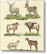 Different Kinds Of Sheep Metal Print