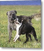 Dogs Playing With Stick Metal Print