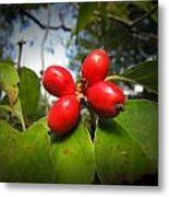 Dogwood Berries Metal Print