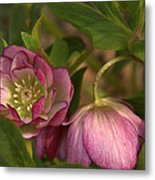 Double Lenten Rose Metal Print