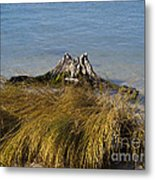 Driftwood In Beach Grass Metal Print