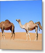 Dromedary Camel (camelus Dromedarius Metal Print