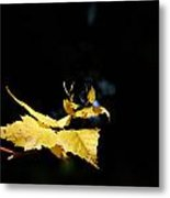 Early Fall Of  Downy Birch Metal Print