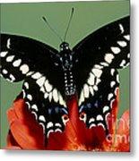 Eastern Black Swallowtail Butterfly Metal Print