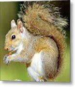 Eastern Gray Squirrel Metal Print
