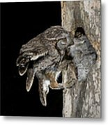 Eastern Screech Owls At Nest Metal Print