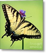 Eastern Tiger Swallowtail Butterfly Square Metal Print