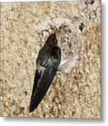 Edible-nest Swiftlet On Nest Metal Print