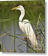 Egret In The Cattails Metal Print