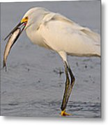 Egret With Fish Metal Print