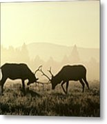 Elks Sparring Yellowstone Np Wyoming Metal Print